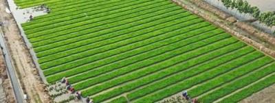华为构想物联网农场,种植盐碱地水稻